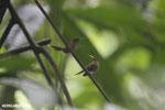 Hummingbird feeding its chick [costa_rica_la_selva_0683]