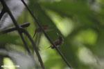 Hummingbird feeding its chick [costa_rica_la_selva_0689]