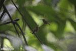 Hummingbird feeding its chick [costa_rica_la_selva_0690]