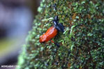 Strawberry dart frog [costa_rica_la_selva_0691]