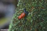 Strawberry dart frog [costa_rica_la_selva_0692]