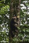 Capuchin monkey in Costa Rica [costa_rica_la_selva_0719]
