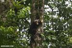 Capuchin monkey in Costa Rica [costa_rica_la_selva_0726]