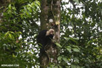 Capuchin monkey in Costa Rica [costa_rica_la_selva_0735]