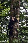 Capuchin monkey in Costa Rica [costa_rica_la_selva_0740]