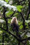 Capuchin monkey in Costa Rica [costa_rica_la_selva_0750]