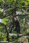 Capuchin monkey in Costa Rica [costa_rica_la_selva_0755]