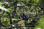 Capuchin monkey in Costa Rica [costa_rica_la_selva_0756]