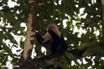 Capuchin monkey in Costa Rica [costa_rica_la_selva_0770]