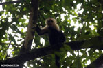 Capuchin monkey in Costa Rica [costa_rica_la_selva_0775]