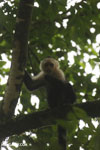 Capuchin monkey in Costa Rica [costa_rica_la_selva_0776]