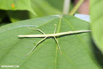 Stick insects [costa_rica_la_selva_0781]