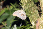 Butterfly [costa_rica_la_selva_0784]