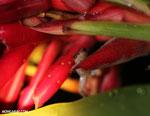 Craugastor crassidigitus frog [costa_rica_la_selva_0788]