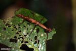 Stick insects [costa_rica_la_selva_0792]