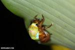 Cicada emerging from nymph skin [costa_rica_la_selva_0815]