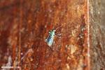 Weevil [costa_rica_la_selva_0820]