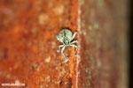 Weevil [costa_rica_la_selva_0822]