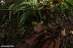 Strawberry poison-dart frog (Oophaga pumilio) [costa_rica_la_selva_0871]