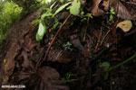 Auratus dart frogs fighting [costa_rica_la_selva_0874]