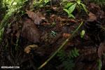 Auratus dart frogs fighting [costa_rica_la_selva_0887]