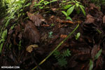 Auratus dart frogs fighting [costa_rica_la_selva_0890]