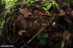 Auratus dart frogs fighting [costa_rica_la_selva_0891]