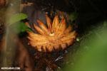 Rainforest seed pod [costa_rica_la_selva_0908]