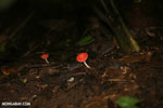 Red cup mushroom [costa_rica_la_selva_0935]