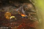 Strawberry poison-dart frog (Oophaga pumilio) [costa_rica_la_selva_0944]