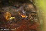 Strawberry poison-dart frog (Oophaga pumilio) [costa_rica_la_selva_0946]