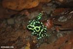 Green-and-black poison dart frogs fighting [costa_rica_la_selva_0956]