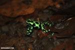 Green-and-black poison dart frogs fighting [costa_rica_la_selva_0957]