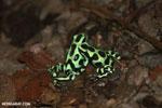 Green-and-black poison dart frogs fighting [costa_rica_la_selva_0963]