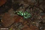 Green-and-black poison dart frogs fighting [costa_rica_la_selva_0969]
