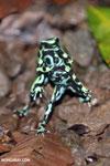 Green-and-black poison dart frogs fighting [costa_rica_la_selva_0972]