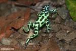 Green-and-black poison dart frogs fighting [costa_rica_la_selva_0979]