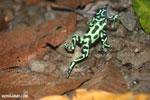 Green-and-black poison dart frogs fighting [costa_rica_la_selva_0980]