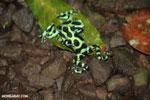 Green-and-black poison dart frogs fighting [costa_rica_la_selva_0984]