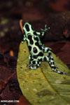 Green-and-black poison dart frogs fighting [costa_rica_la_selva_0990]