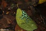 Green-and-black poison dart frogs fighting [costa_rica_la_selva_0992]