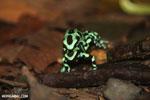 Green-and-black poison dart frogs fighting [costa_rica_la_selva_1010]