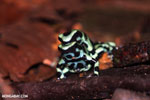 Green-and-black poison dart frogs fighting [costa_rica_la_selva_1013]