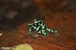Green-and-black poison dart frogs fighting [costa_rica_la_selva_1016]