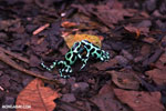 Green-and-black poison dart frogs fighting [costa_rica_la_selva_1019]