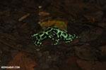 Green-and-black poison dart frogs fighting [costa_rica_la_selva_1023]