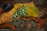 Green-and-black poison dart frogs fighting [costa_rica_la_selva_1034]