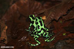 Green-and-black poison dart frogs fighting [costa_rica_la_selva_1042]