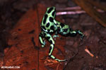 Green-and-black poison dart frogs fighting [costa_rica_la_selva_1053]