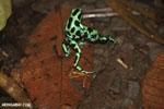 Green-and-black poison dart frogs fighting [costa_rica_la_selva_1054]